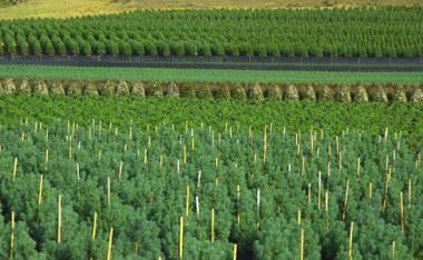 Christmas trees growing in a field, Fishbowl Blog